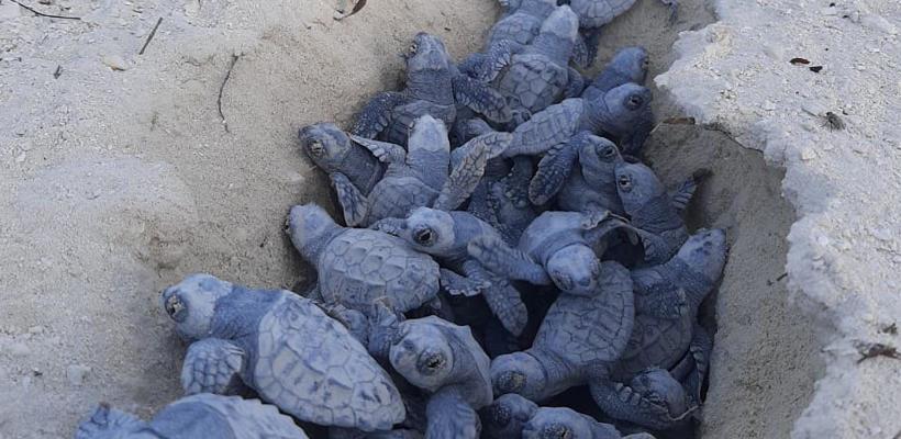 MSC Ocean Cay: Die ersten Meeresschildkröten sind geschlüpft - Bildquelle. MSC Cruises